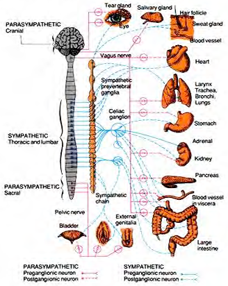 The autonomic Nervous System with pictures and labels of the cranial and senses and organs