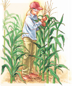Child detasseling corn in a corn field