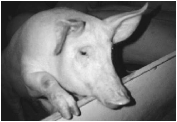 photograph of swine