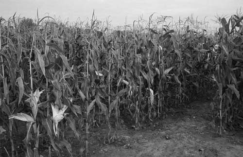 photograph of corn field