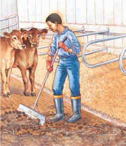 Child sweeping out calf pen