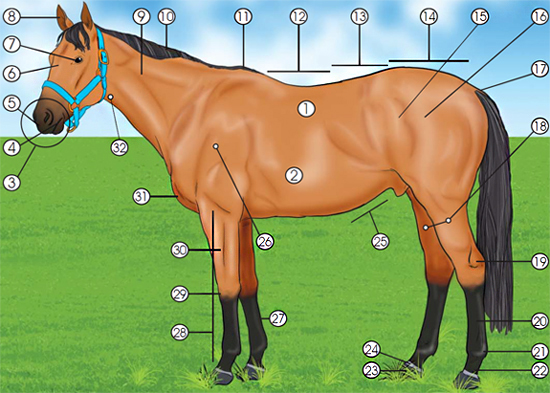 This is a Diagram of a horse, labeled with numbers 1 through 32.