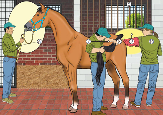 This is a larger drawing of the positioning of and restraining of a horse during a medical examination.