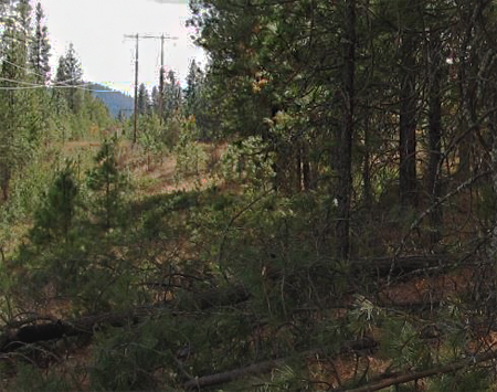 Photo 2- tree felled by vivtim shwoing stand of trees and power lines