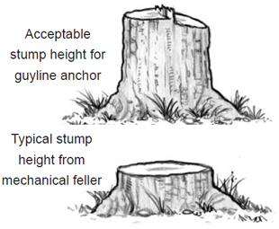Example of an acceptable stump height for guyline anchors where there's enough space to make a groove and set the anchor, vs. a typical stump height form a mechanical feller which is relatively shorter and unsuitable for guyline anchors.