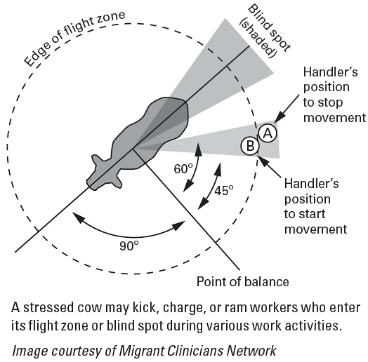 A stressed cow may kick, charge, or ram workers who enter