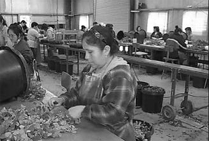 worker at bench hand-cutting stems