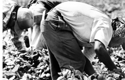 farm workers: foto copywrite 2000 by David Bacon